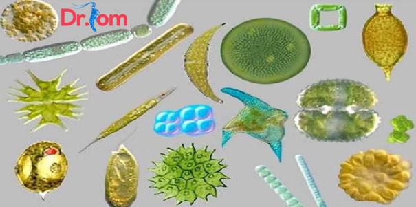 Tìm hiểu về các loại tảo trong ao nuôi tôm và biện pháp quản lý