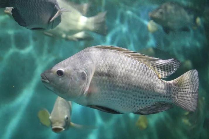Mía cải thiện tỷ lệ chuyển đổi thức ăn của tôm cá