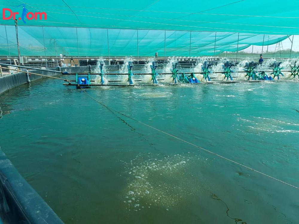 Sử dụng men vi sinh cho tôm trong nuôi trồng thủy sản như thế nào?