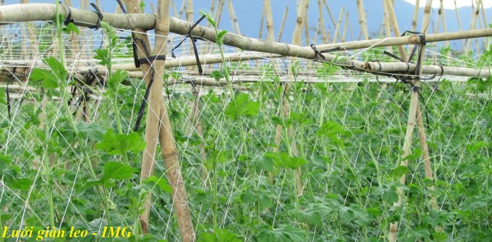 Lưới nông nghiệp - Lưới cước trắng leo giàn cho cây