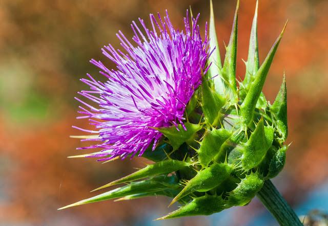 Tinh chất Silymarin bảo vệ lá gan cho bạn - Quà tặng từ thiên nhiên