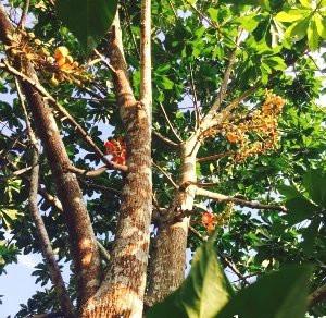 Bán cây giống Sala ( Ngọc Kỳ Lân) số lượng lớn nhỏ toàn quốc