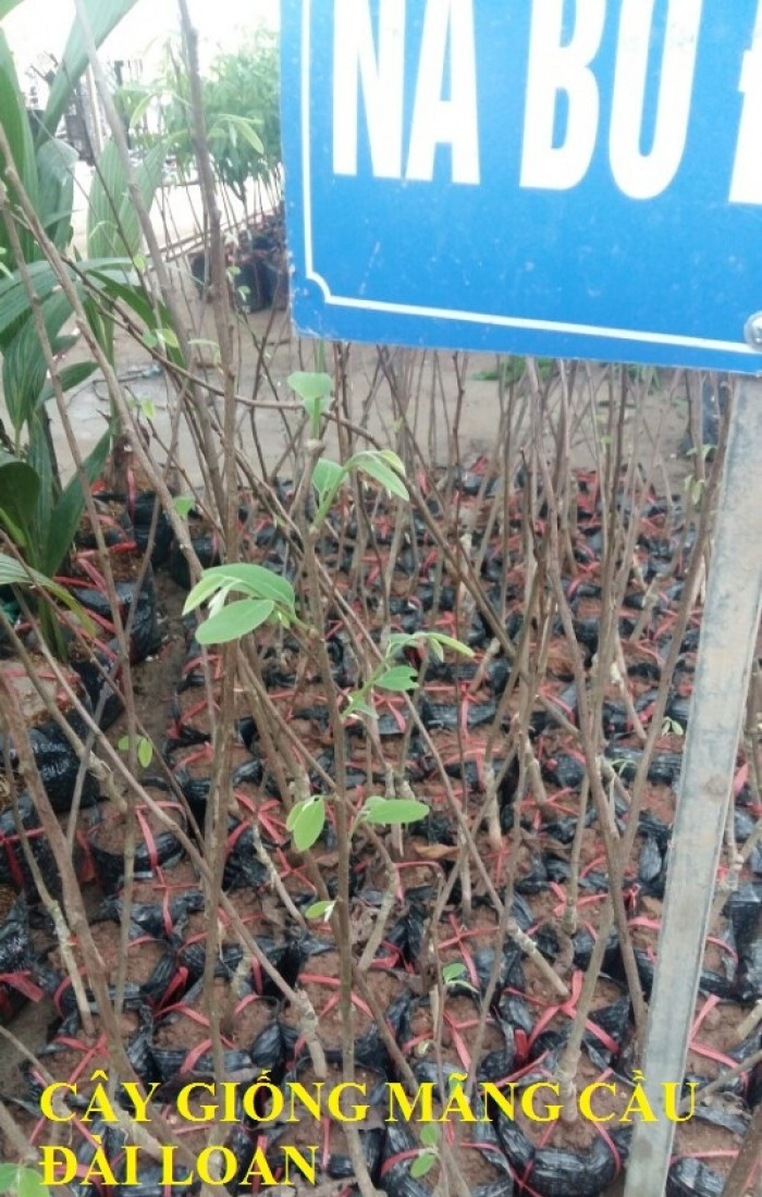 Cây na bở Đài Loan - Tư vấn kỹ thuật trồng và chăm sóc hiệu quả