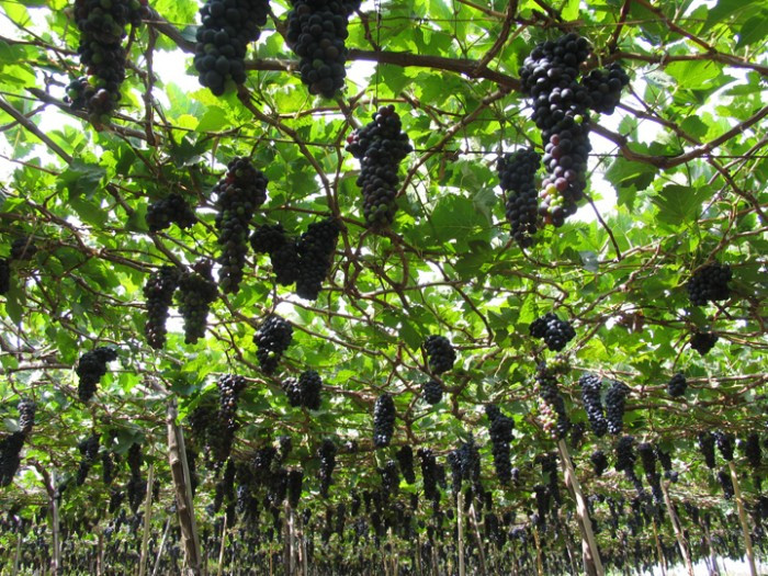 Cung cấp cây giống nho Pháp, nho tím, nho đỏ, chuẩn giống nhập khẩu, giao cây toàn quốc