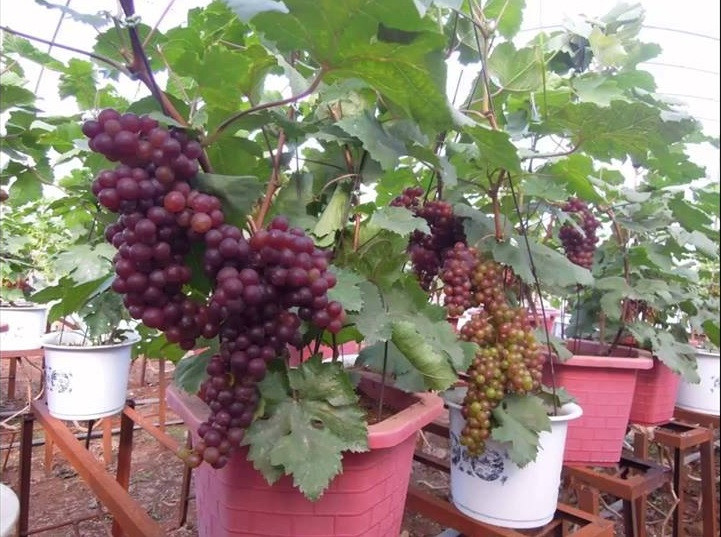 Hướng dẫn cách trồng nho Pháp và kỹ thuật trồng nho Pháp tại nhà
