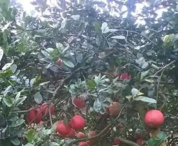 Kỹ thuật và cách trồng bưởi đỏ Luận Văn - Bưởi đỏ tiến Vua(1)