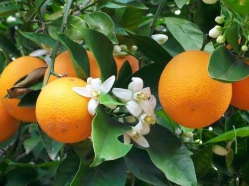Cây cam V2 có đặc điểm gì? Cách trồng và chăm sóc cho cây sai quả