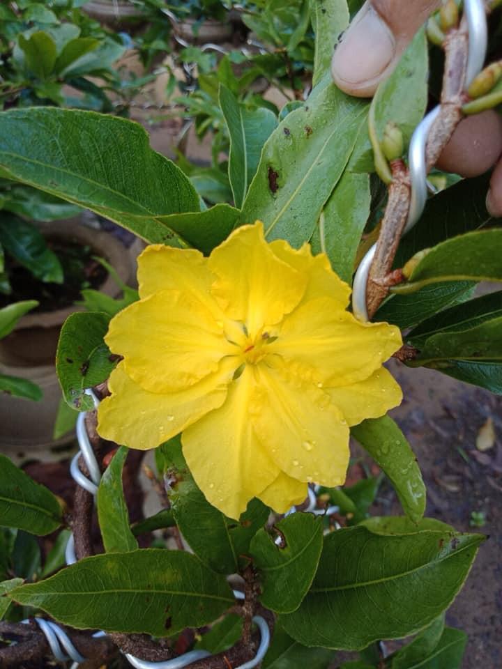 Mai vàng chơi tết biểu tượng của Tết miền Nam(4)