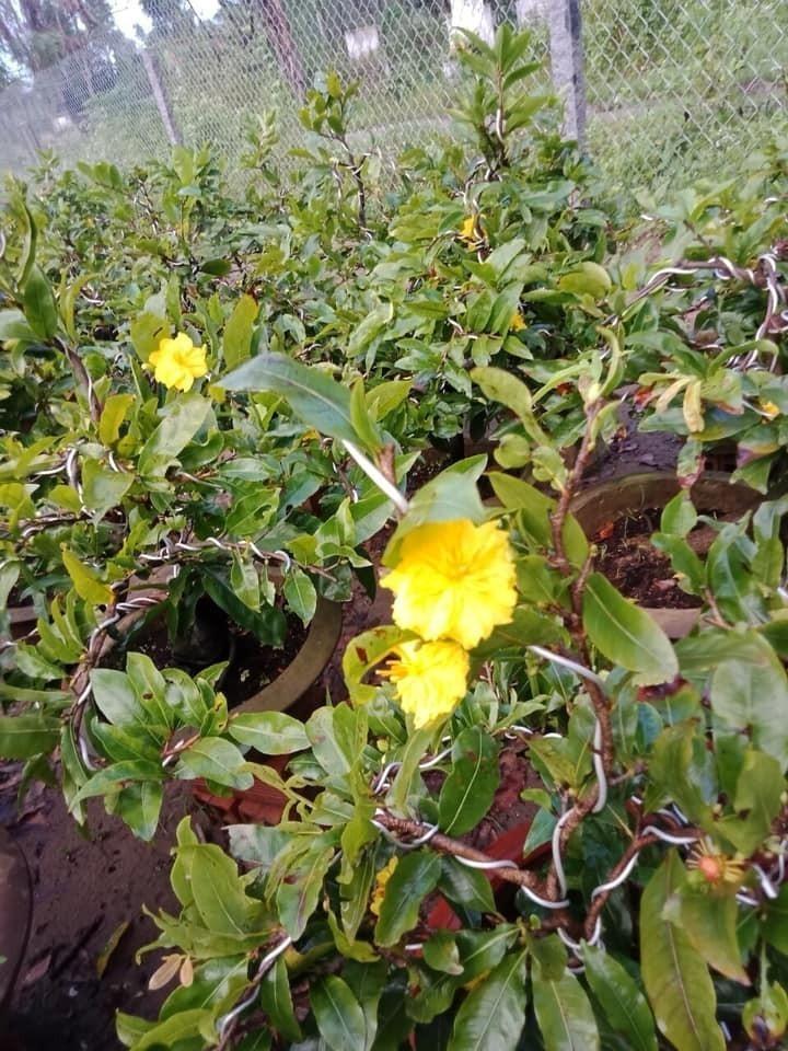 Mai vàng chơi tết biểu tượng của Tết miền Nam(1)