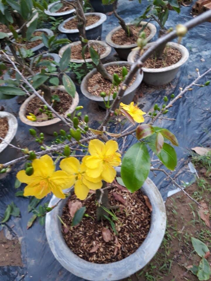 Mai vàng chơi tết biểu tượng của Tết miền Nam(2)