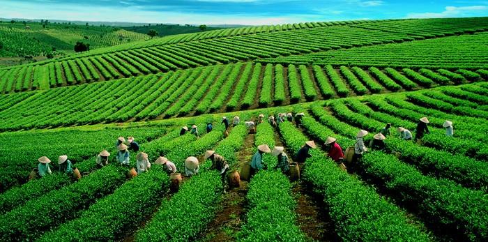 Kết quả hình ảnh cho Đồi chè Cầu Đất ở Đà Lạt-khong-gian-xanh-bat-ngat-cua-doi-che-cau-dat-da-lat uyenkhangvilla dalat