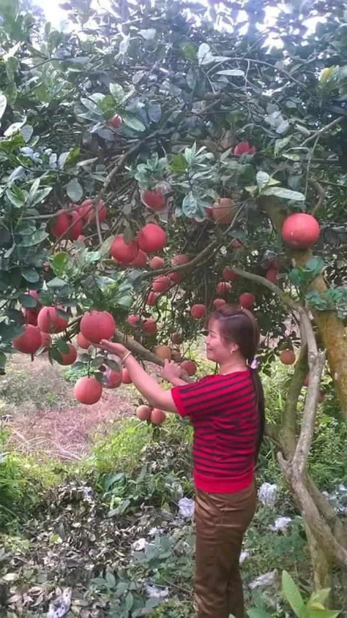 Kỹ thuật trồng bưởi đỏ luận văn