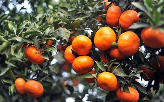 Kỹ thuật trồng cam canh