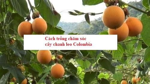 Cách trồng chăm sóc cây chanh leo Colombia