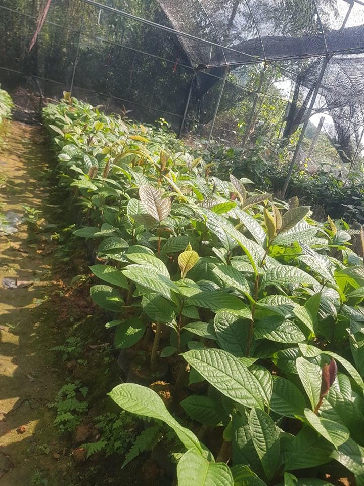 Địa chỉ bán giống cây trà hoa vàng chất lượng