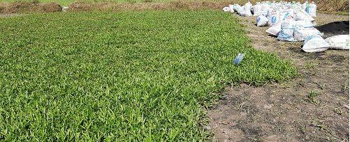 Giá cỏ la gừng m2 báo giá thi công trồng cỏ lá gừng nhà vườn Đức Tiến Phát