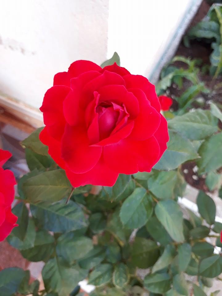 Những điều cơ bản dành cho người mới bắt đầu chơi hoa hồng