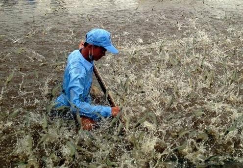Gia tăng hiệu quả khi dùng vôi bột trong nuôi trồng thủy sản(4)