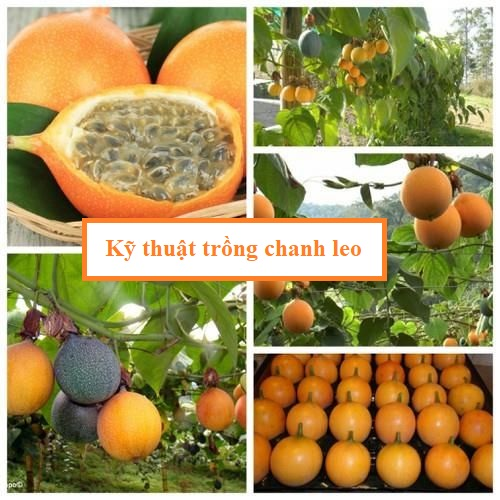 Kỹ thuật trồng chanh leo ngọt Colombia