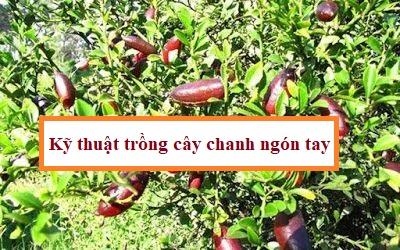 Kỹ thuật trồng cây chanh ngón tay(1)