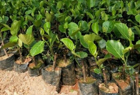 Giới thiệu đặc điểm cây giống mít trái dài(1)